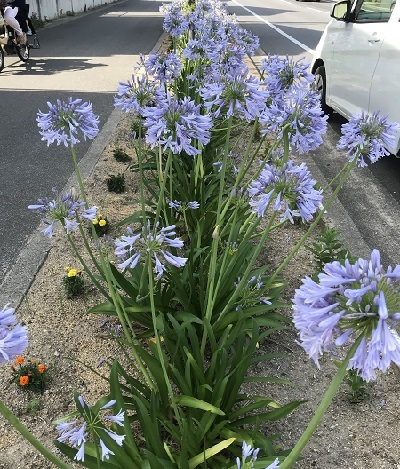 むらさきの花がつづく道