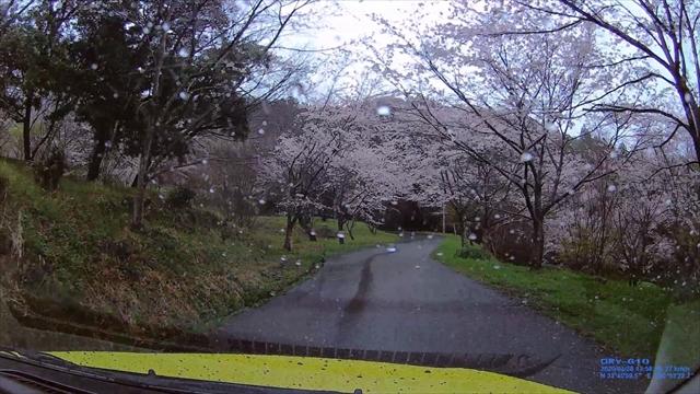 仲哀公園の桜-2
