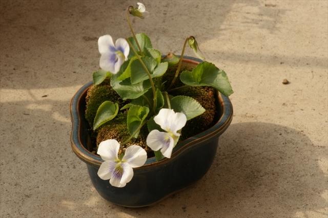 タチツボスミレの盆栽