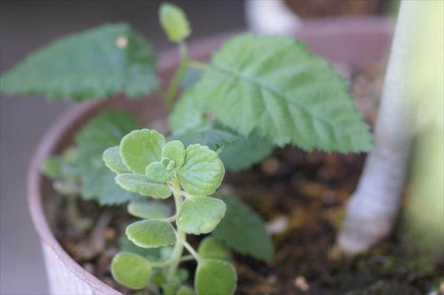 オリーブの根元にキイチゴとアロマティカス