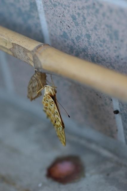 ツマグロヒョウモンの羽化