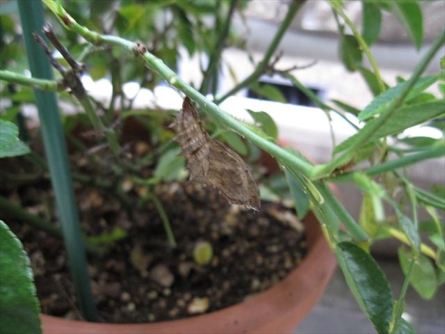 ツマグロヒョウモン蛹の抜け殻