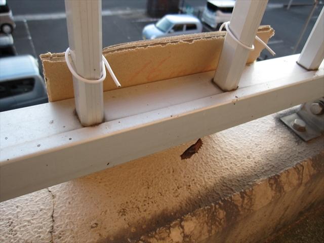 ツマグロヒョウモンの蛹 日よけ