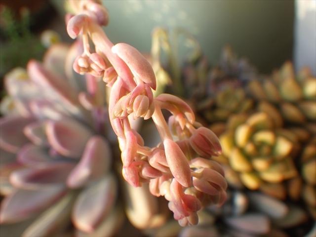 多肉植物の蕾