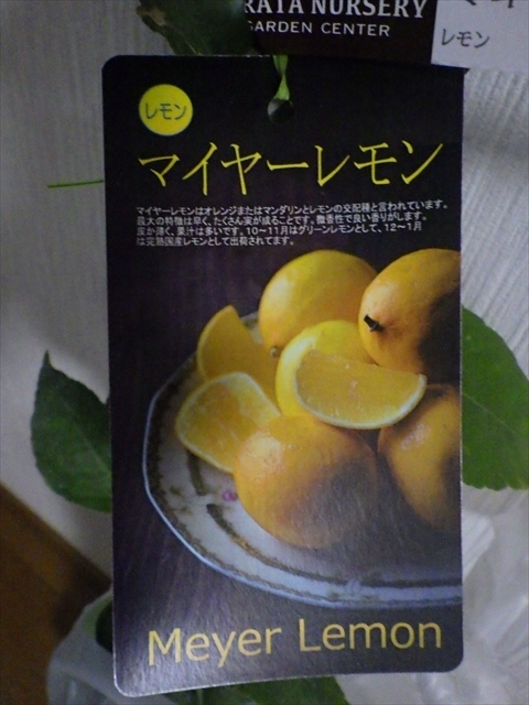マイヤーレモン-2