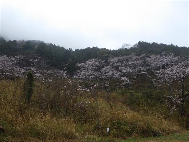 仲哀公園の桜-7