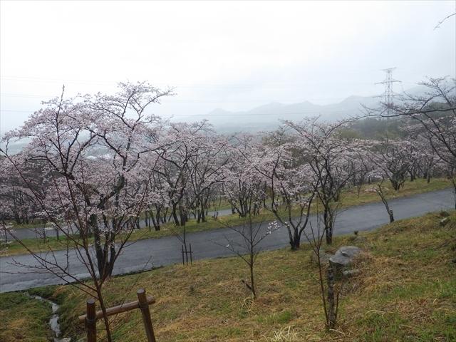 仲哀公園の桜-6