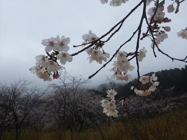 仲哀公園の桜-9