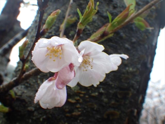 仲哀公園の桜-8