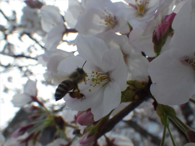 ファミマ側の桜
