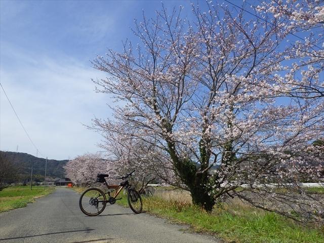 九州遊歩道の桜