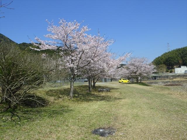 ホタルの里公園 桜