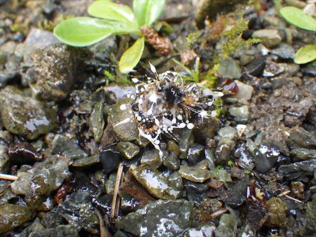 ドクガの幼虫-3