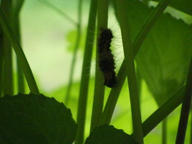 タチツボスミレにいたドクガの幼虫