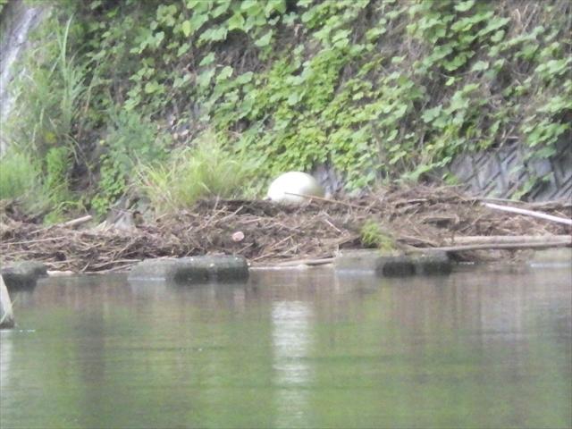 祓川ほたるの里公園上流 大きな卵?