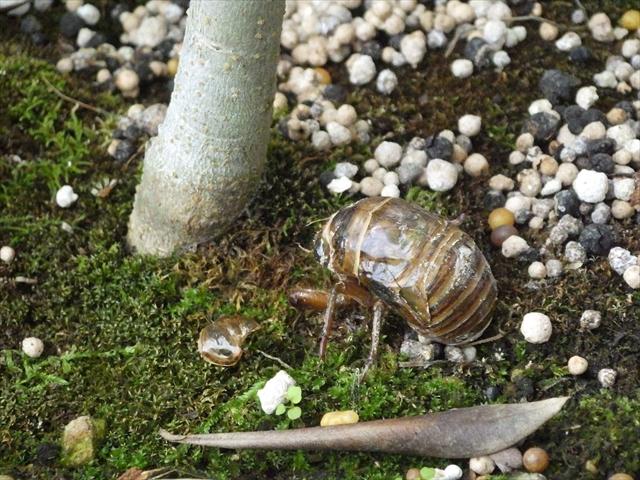 セミ(クマゼミ)の幼虫