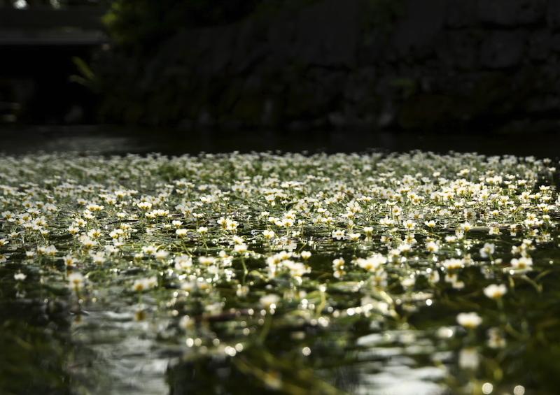 梅花藻 (1)