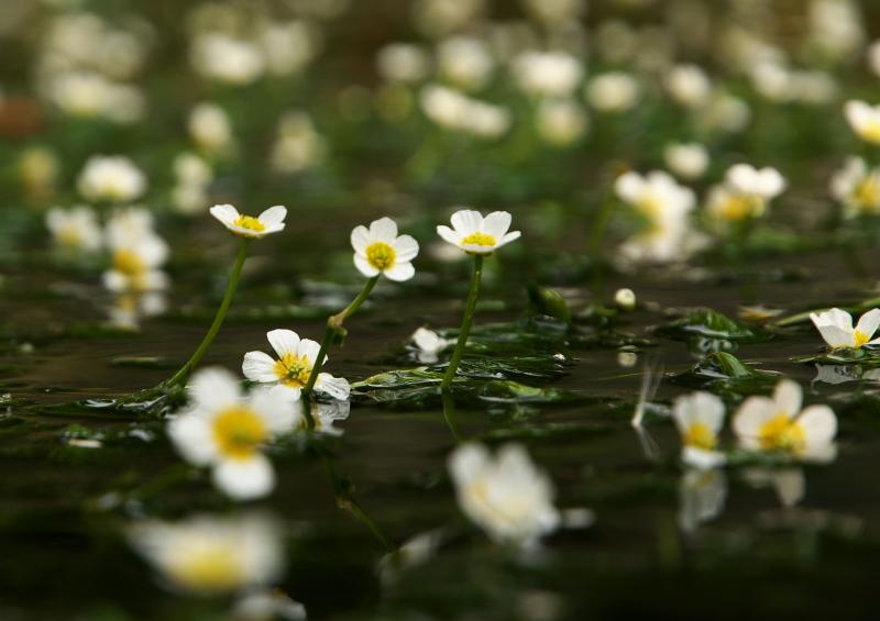 梅花藻 (2)