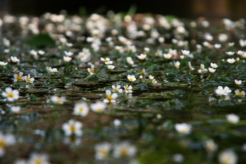 梅花藻 (4)