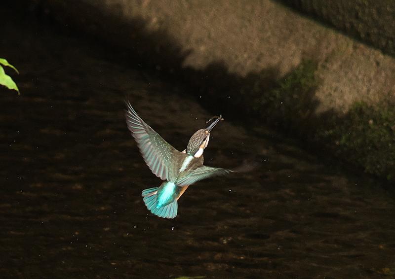 飛び姿 (1)