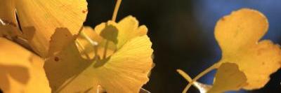 イチョウ葉の画像B