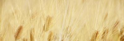 フェルラ酸を多く含む大麦の画像A