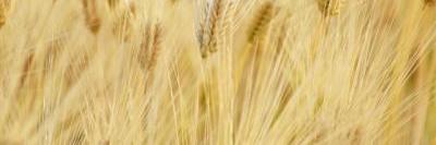 フェルラ酸を多く含む大麦の画像B