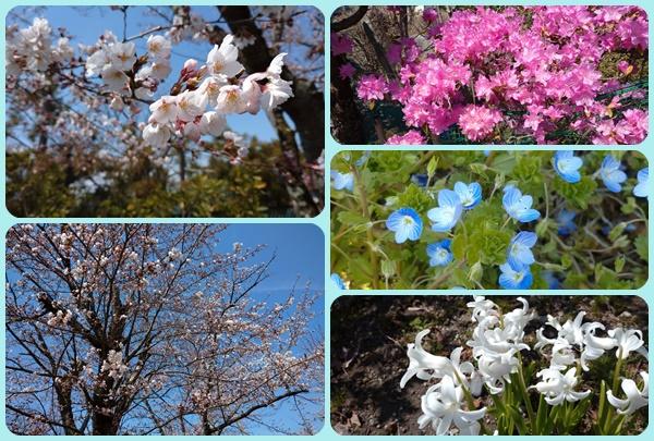 散歩道の花桜他