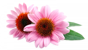 echinacea-png-5.png