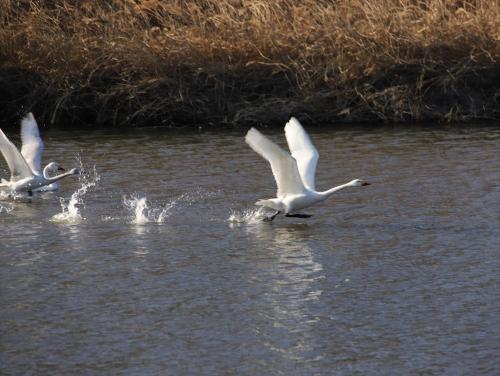 2021白鳥の飛び立ち2