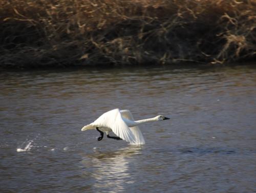 白鳥の飛び立ち3