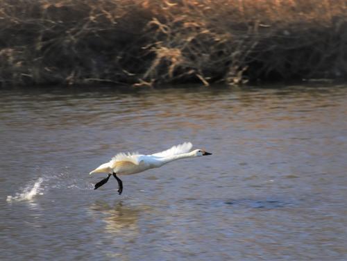 白鳥の飛び立ち4