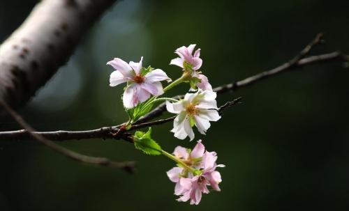 ピンクと白の桜