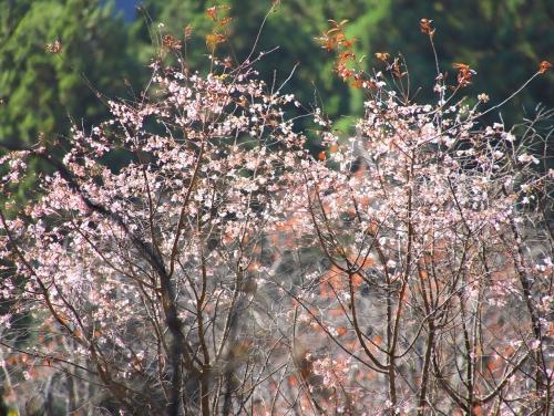 小さな冬桜