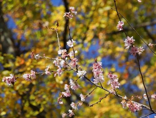 冬桜と黄色い葉っぱ