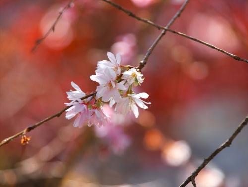 紅葉をバックに冬桜2