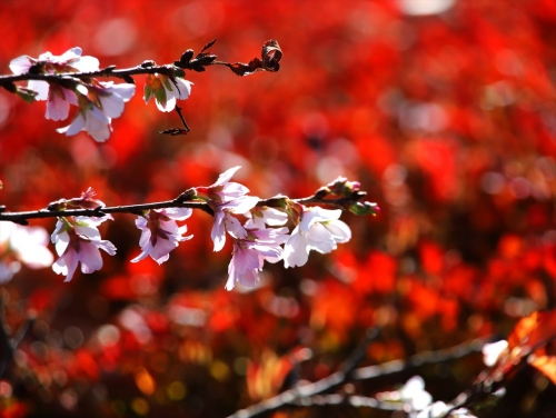 紅葉をバックに冬桜