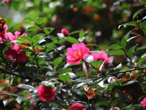 山茶花もきれいでした