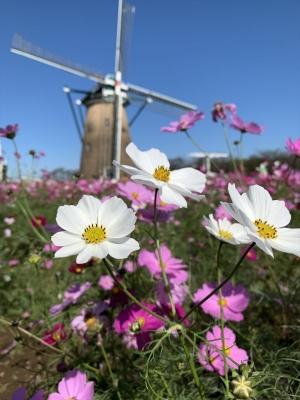 佐倉オランダ風車
