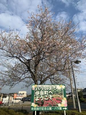 内宿駅前桜