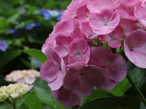 ピンク色が綺麗なアジサイ