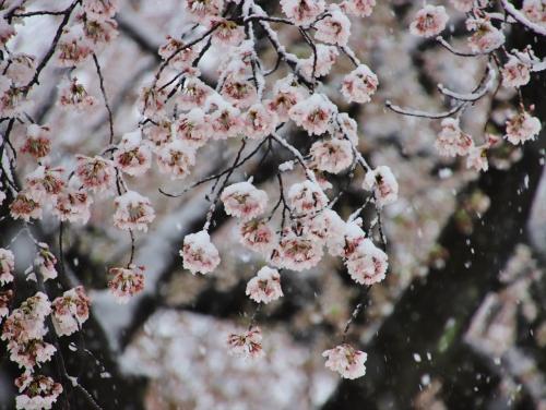 桜が重たそう
