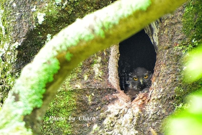 アオバズクの巣立ちⅠ