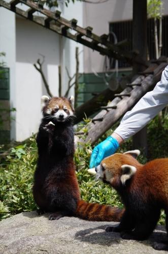 #マリモ #ノゾム #福岡市動物園 #redpanda #レッサーパンダ #赤パンダ