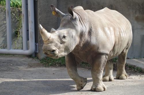 シロサイ 福岡市動物園