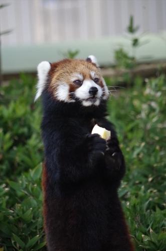 #マリモ #福岡市動物園 #redpanda #レッサーパンダ #赤パンダ