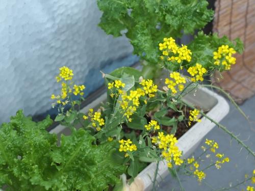 ベランダ 家庭菜園