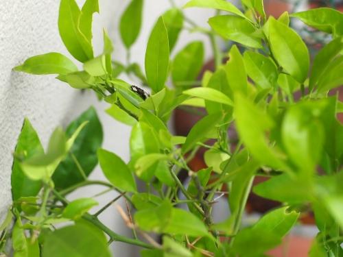 ナミアゲハ 幼虫