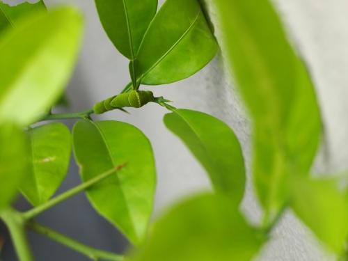 棘が長い柑橘の木