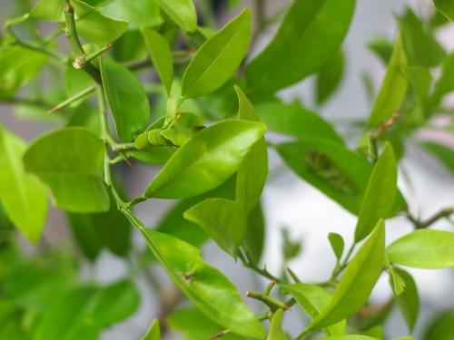 ナミアゲハ 幼虫 毛虫